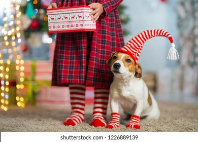 Pet dog Jack Russell Terrier and legs of a little girl in red white striped socks celebrating Christmas at home by the New Year tree