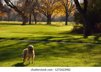 Pet dog on wet grass at dawn in a Toronto Park in Autumn