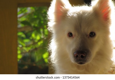 Pet dog pomerian breed white color!Black eyes! sunkissed