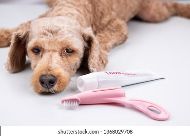 Pet dog pose with toothbrush and toothpaste.  Pet oral care theme.
