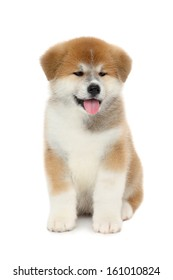 Pet dog, young  Akita Inu puppy dog on white background