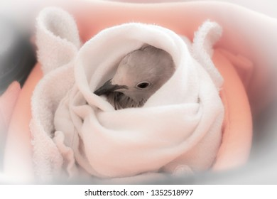 Pet Dove in Homemade Nest
