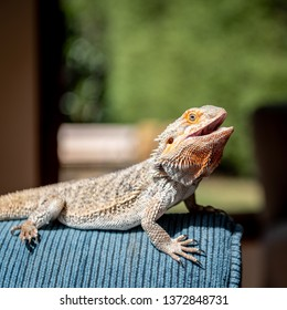 A pet Eastern Centralian Bearded Dragon (Pogona vitticeps) suns its self with mouth open on a couch in a residential home