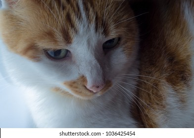 Pet fat Ginger tabby cat with green eyes resting