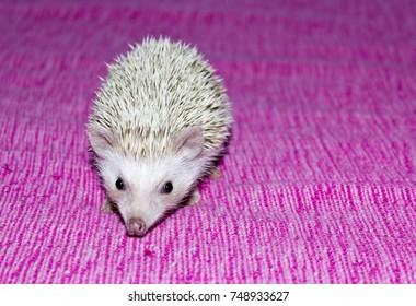 Pet- Four-toed hedgehog (Atelerix albiventris) or African pygmy hedgehog