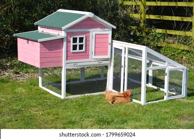 A pet free range chicken relaxing and sunbathing next to her pink chicken coop