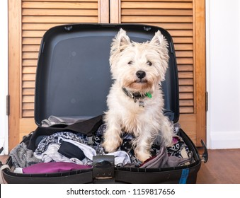 Pet friendly accommodation: scruffy west highland white terrier westie dog in packed suitcase luggage