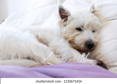 Pet friendly accommodation: west highland white terrier westie dog asleep on pillows and duvet on bed