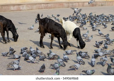 Pet of a goat black white with birds