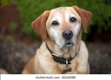 A pet golden labrador dog wearing collar and id tag.  Looking straight at the camera with a shallow depth of field.