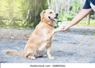 Pet Golden Retriever shaking hands with people and smiling. Dog Training