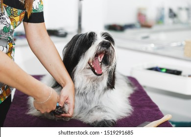 Pet groomer clipping dog nail, selective focus