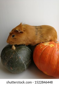 Pet, guinea pig eats pumpkin. Close-up photograph of a rodent. Autumn red color for design background, template, banner.