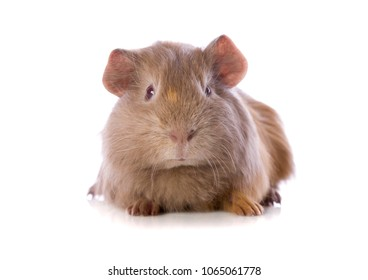 Pet Guinea Pig isolated on white in a studio.