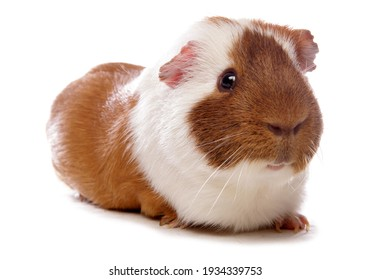 Pet Guinea Pig isolated on a white background
