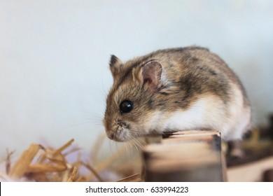 a pet hamster