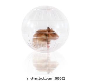 Pet hamster playing