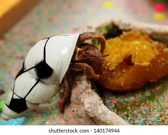 A pet hermit crab in a shell painted a soccer ball climbs into his feeding dish.