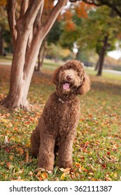 Pet Labradoodle Dog Standing Under Tree in Autumn Leaves