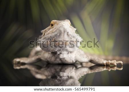 Pet Lizard Bearded Dragon On Black Stock Photo (Edit Now) 565499791