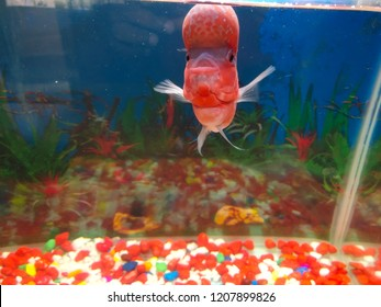 Pet love Flowerhorn