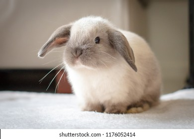 A pet Mini Lop baby rabbit in a home environment