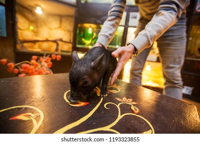 pet miniature pig holding the owner, curious look of a happy animal in the lens, wet Piglet, grunting farm animal, let out for a walk on the floor, taking care of the animals