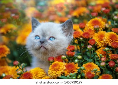 Pet outdoors. Cute little kitten sits in blossoming orange Chrysanthemum flowers in a garden in summer. Kitten looks up. Summer scene with beautiful nature and lovely pet