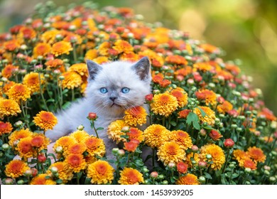 Pet outdoors. Cute little kitten sits in blossoming orange Chrysanthemum flowers in a garden in summer. Kitten looks at camera. Summer scene with beautiful nature and lovely pet