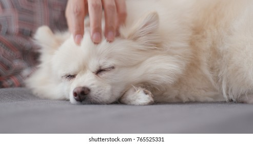 Pet owner massage with her white Pomeranian dog