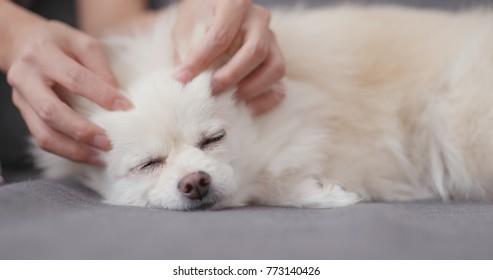 Pet owner massage on white dog