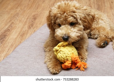 Pet poodle playing with toy