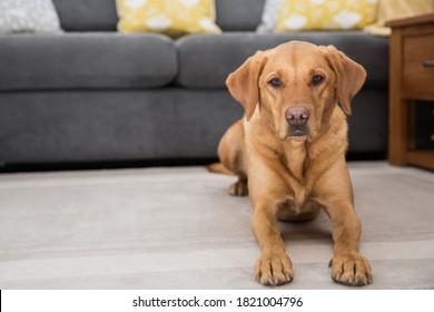 A pet portrait of a handsome yellow or fox red Labrador Retriever dog inside a house.