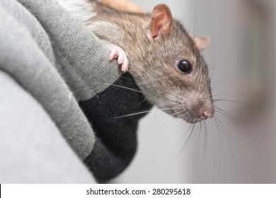 Pet rat peeking out of the hood