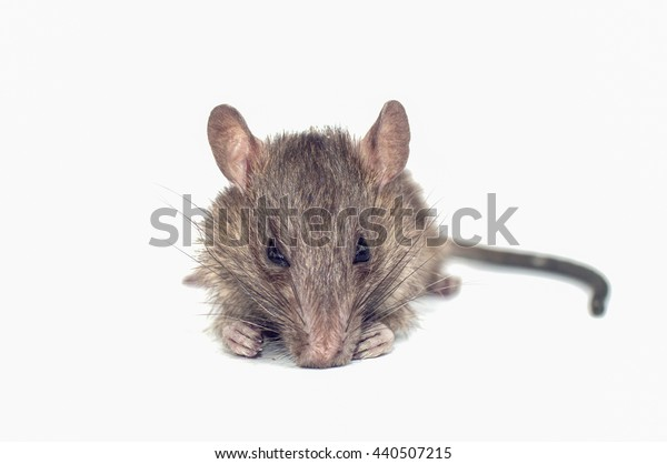 Pet rats are biting teeth gnawing pests and pathogens, leading to removal of leptospirosis not breathing .