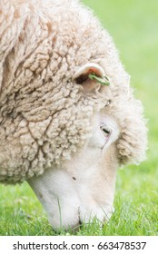 Pet sheep