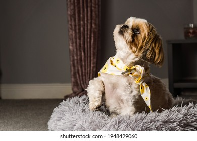 pet shih tzu in dog bed looking cute and fluffy with flower collar neckerchief bandana  - Shutterstock ID 1948429060