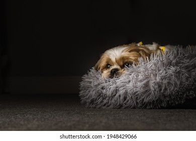 pet shih tzu in dog bed looking cute and fluffy with flower collar neckerchief bandana  - Shutterstock ID 1948429066