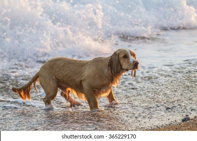 pet sprocker playing sticks at the beach