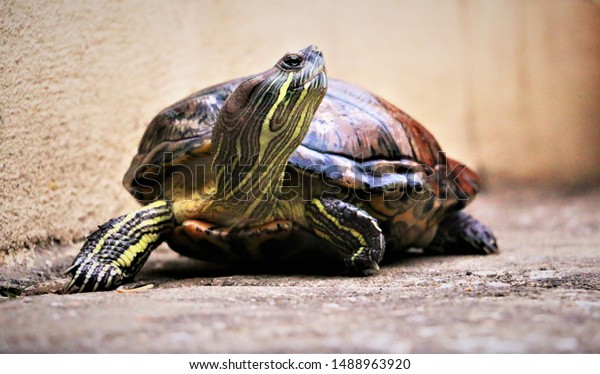 pet tortoise staring and looking seriously at something interesting