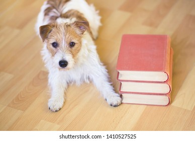 Pet training, back to school concept - cute obedient jack russell puppy dog laying with books