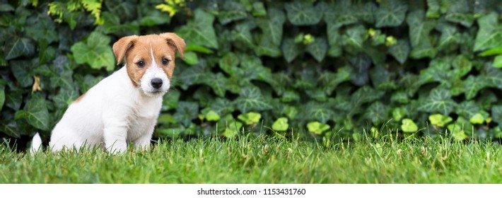 Pet training, obedience, dog shool concept - jack russell terrier happy smart puppy sitting in the grass