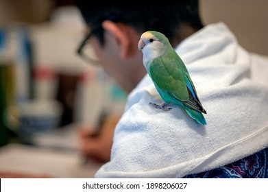 A pet turquoise mutation peach-faced lovebird sits on the shoulder of a person studying in a home office