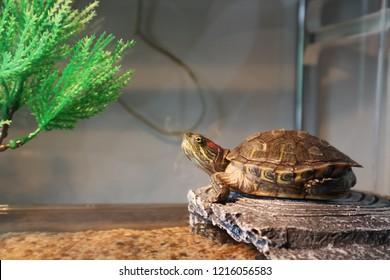 Pet turtle. Red eared turtle in the aquarium
