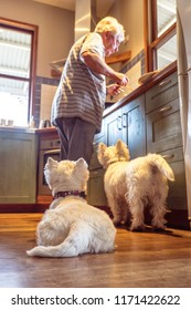 Pet westie dogs hoping retired caucasian owner will drop food cooking in domestic kitchen at home - shallow depth of field