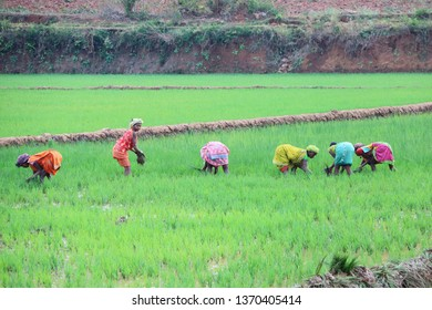 Peta, India – February 28, 2019: View of the rice field with some colored women at work