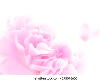 Petal of the carnation