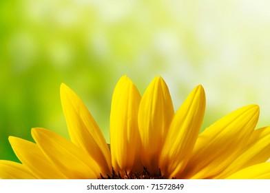 Petal of sunflower