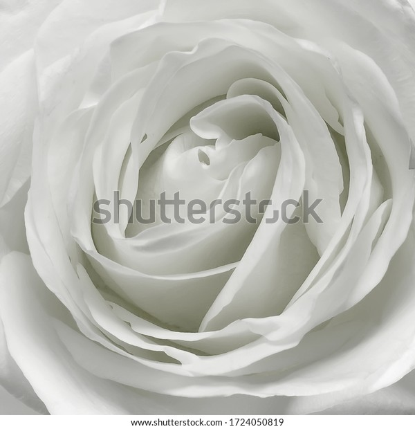 Petal white rose flower floral texture background square