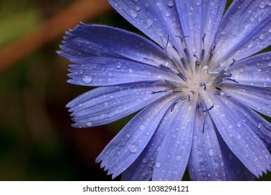 Petals of beautiful chicory close up. Live nature..